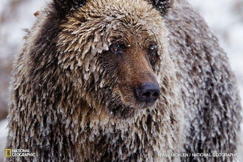 apledejes-grizlis-63947248
